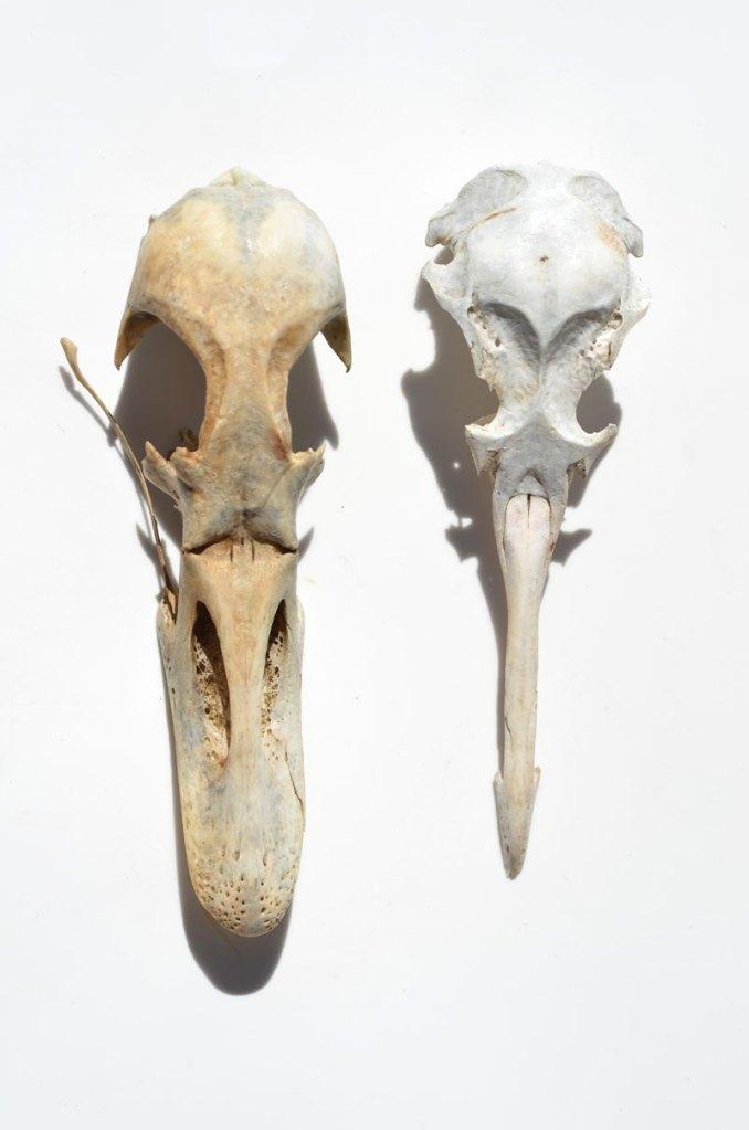 birdskulls3